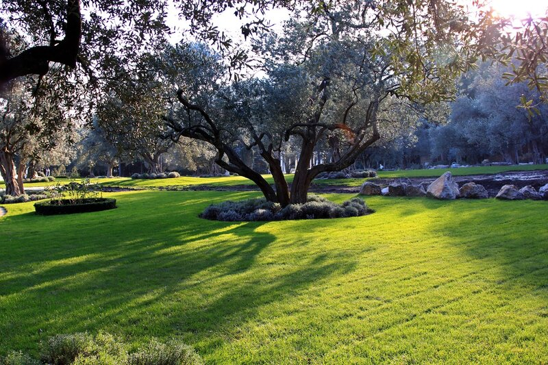 Оливковая роща парка Айвазовского