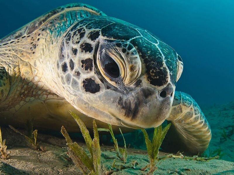 Зелёная морская черепаха в Красном море