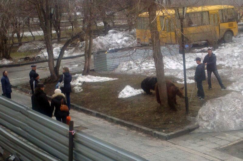 В Новосибирске медведи ходят по улицам