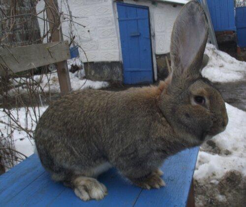 Бельгийский Великан(Обр,Ризен,Фландр) Кролики гиганты.часть 2 - Страница 2 0_9ad7c_8e7ba69_L