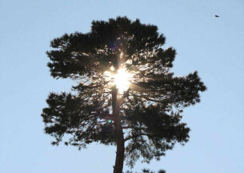 Вечнозеленые деревья (17.04.2013)