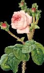 cajoline_oldroses_el8.png