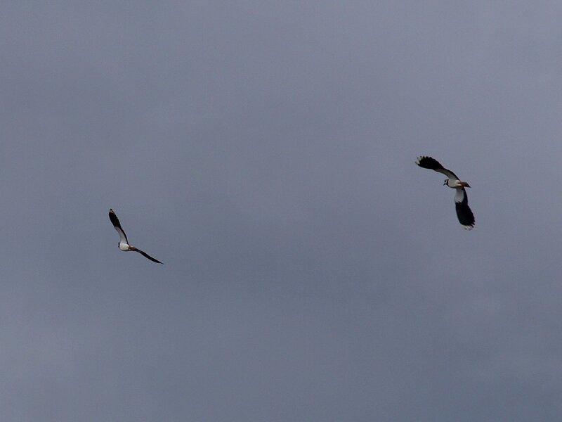 Два чибиса в полете P5042039