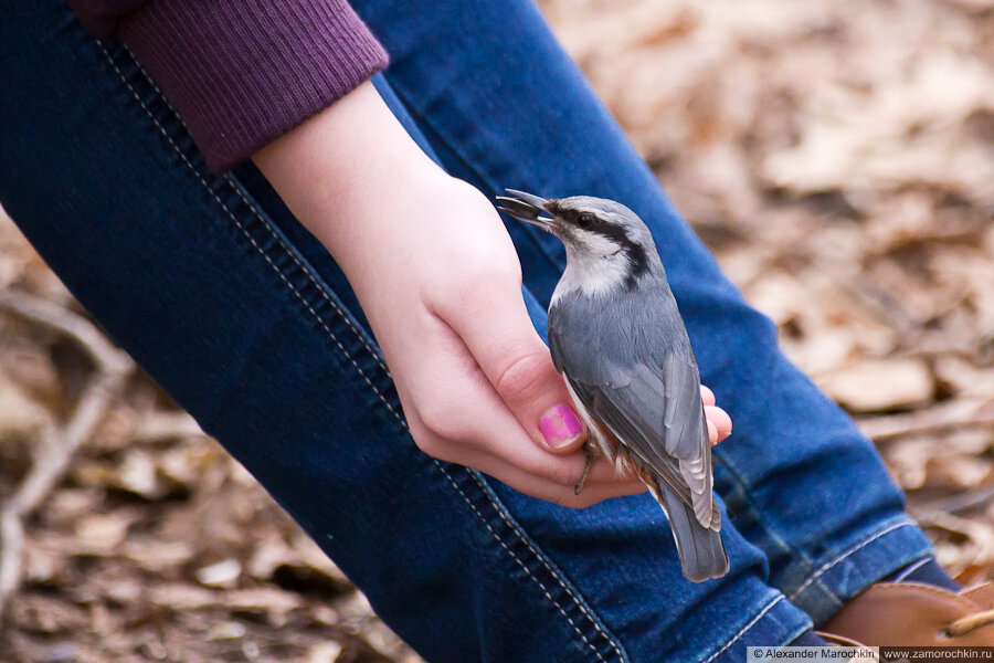 Поползень берёт семечки с руки | Nuthatch taking sunflower seeds from a girl's hand