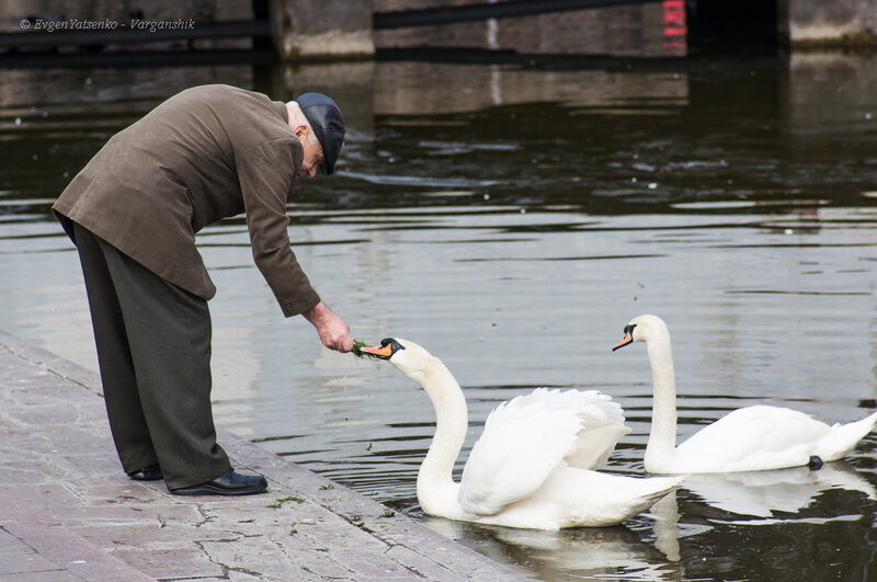 Правильно, лебедей нужно подкармливать!