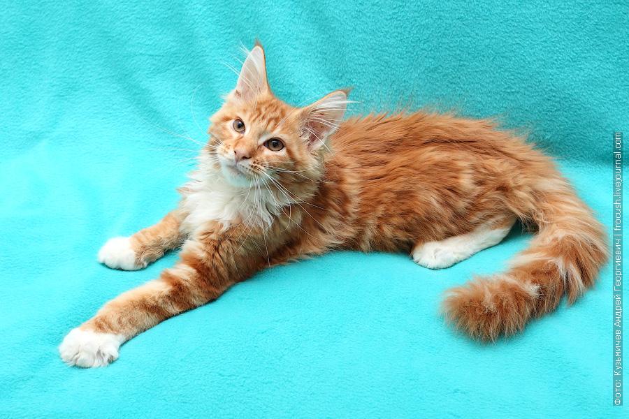 котенок мейн-кун рыжий