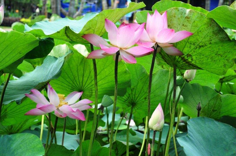 Озеро лотосов. Вьетнам. Часть первая