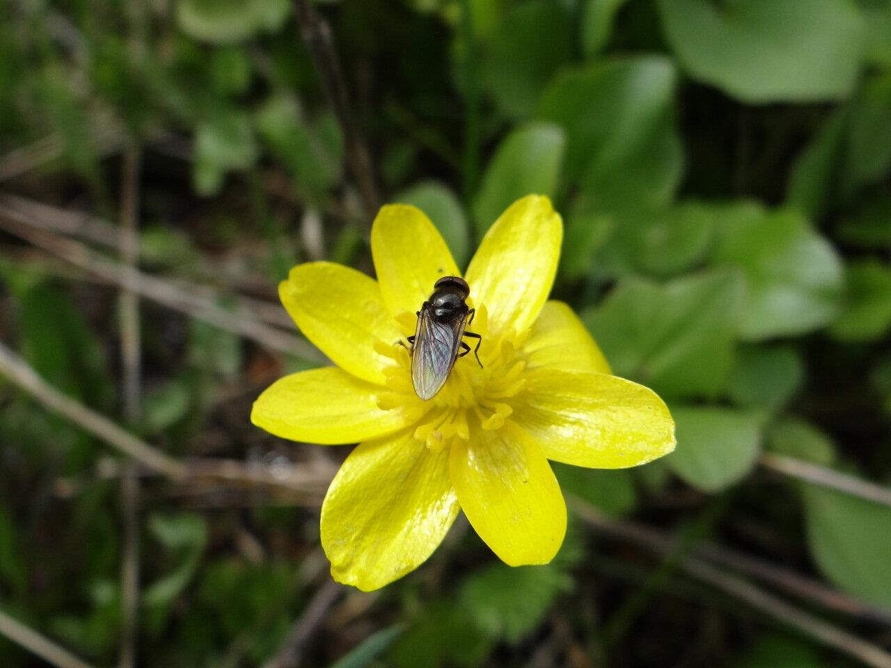 Чистяк весенний (Ficaria verna) Автор фото: Привалова Марина