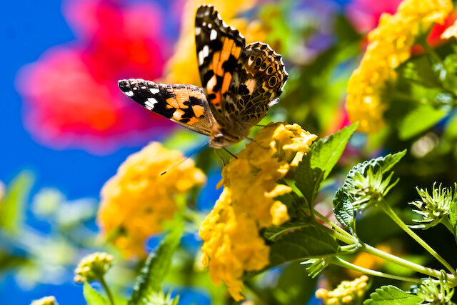 Orange & Black Butterfly on Yellow flower with colorful background