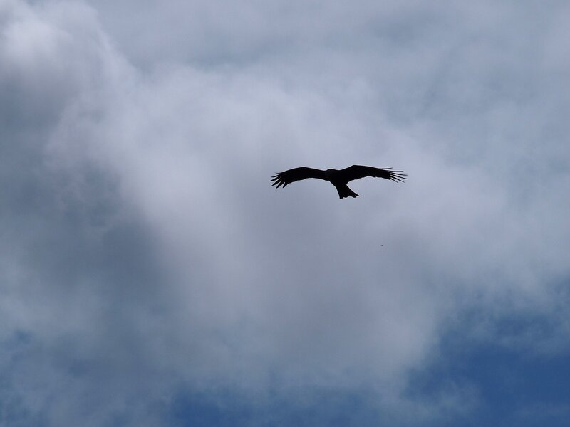 Чёрный коршун (Milvus migrans) P5021689.jpg