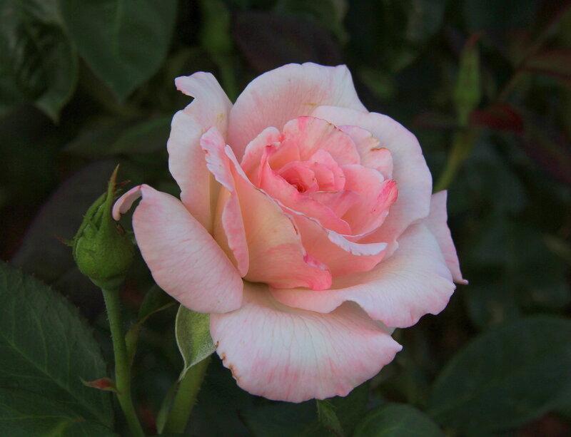Прикосновение души-розы, как женщины!