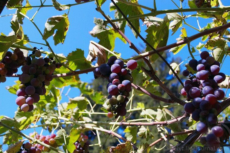 Виноград наших гостеприимных хозяев в Уцере
