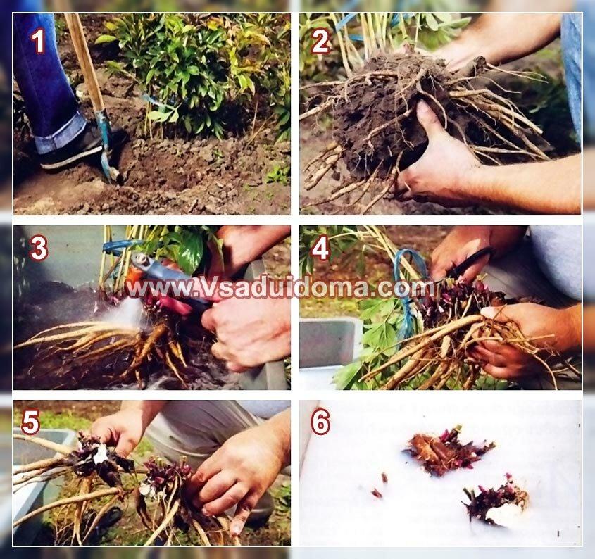 размножение травянистых пионов фото