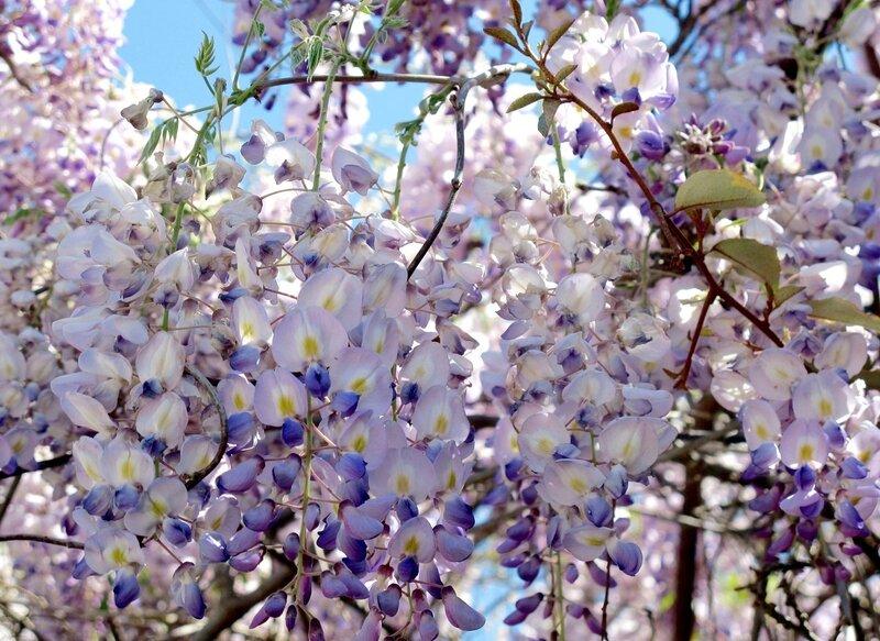 Камелия, Азалия, Глициния. Легенды о цветах