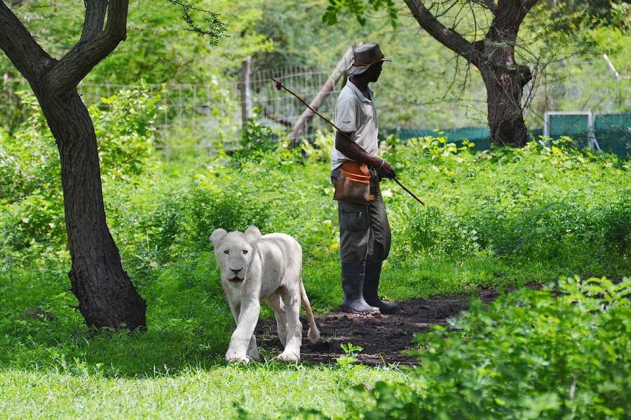 Маврикий, Касела парк: прогулка со львами (фоторепортаж)