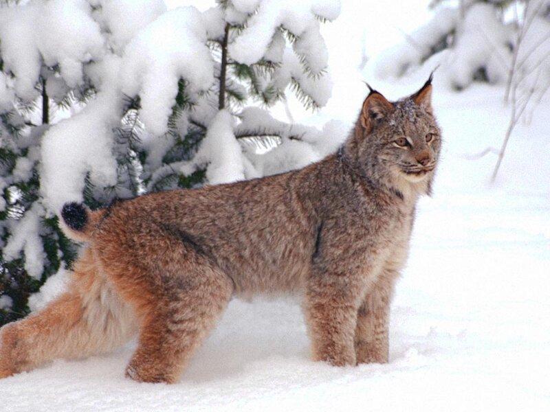 Amazoncom CANADIAN Lynx