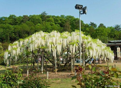 Цветет глициния в японском парке
