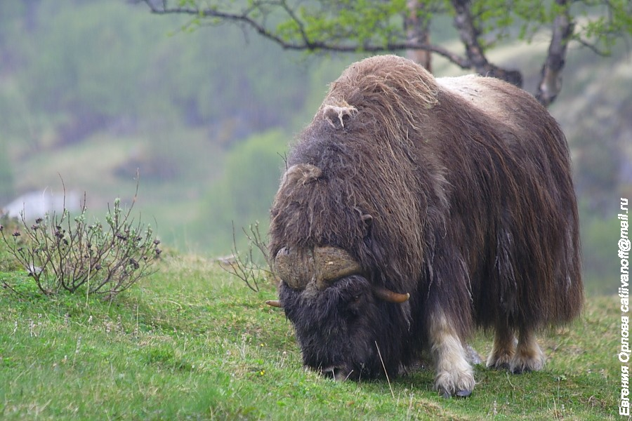 Овцебык фото
