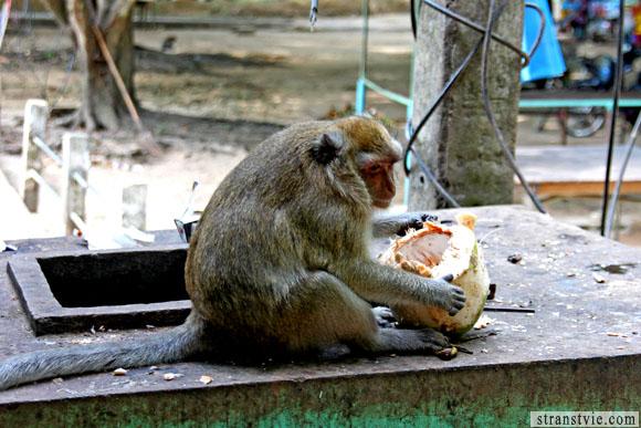обезьяна поедает кокос
