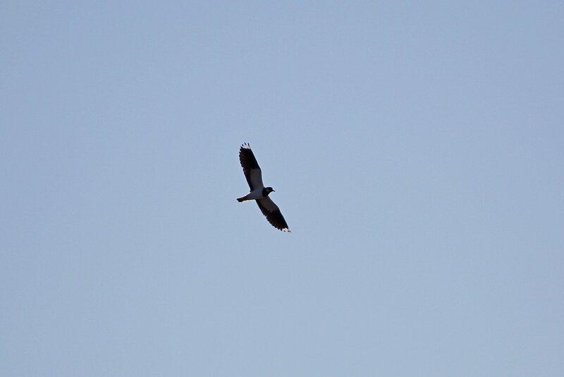 Чибис (Vanellus vanellus) в полёте