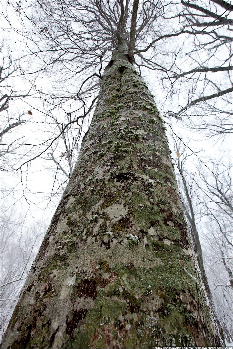 Деревья-великаны Староримской дороги