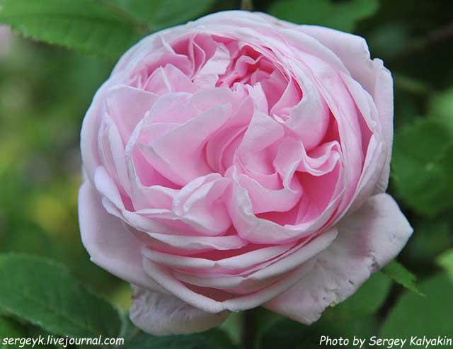 Rosa Mme Louis Leveque (1).jpg