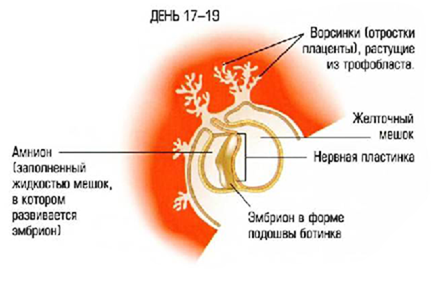 От эмбриона к ребёнку. Популярное пояснение развития плода человека