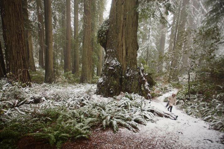 Redwoods MM7599B