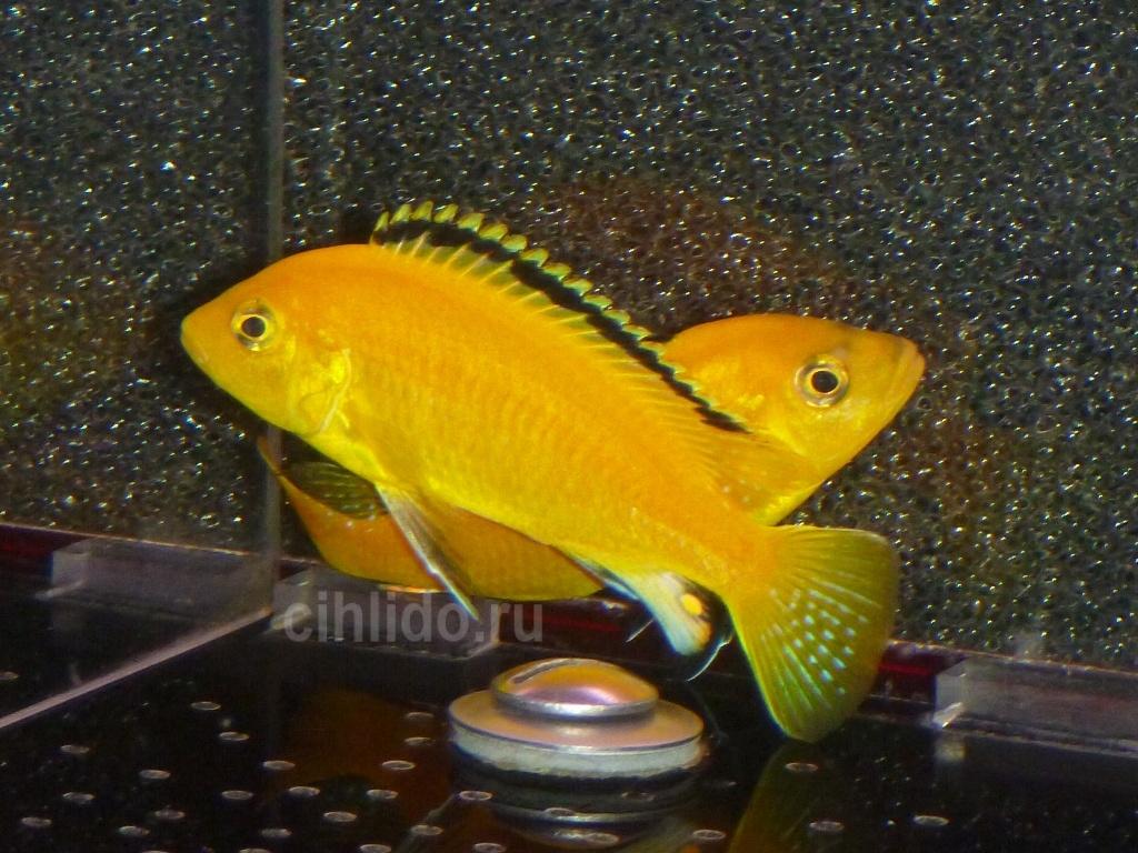 labidochromis caeruleus yellow.JPG
