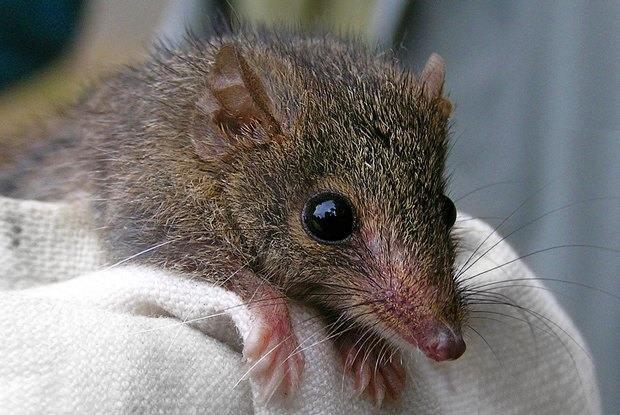 Картинки по запросу Крысы, которые засасывают добычу (PAUCIDENTOMYS VERMIDAX)