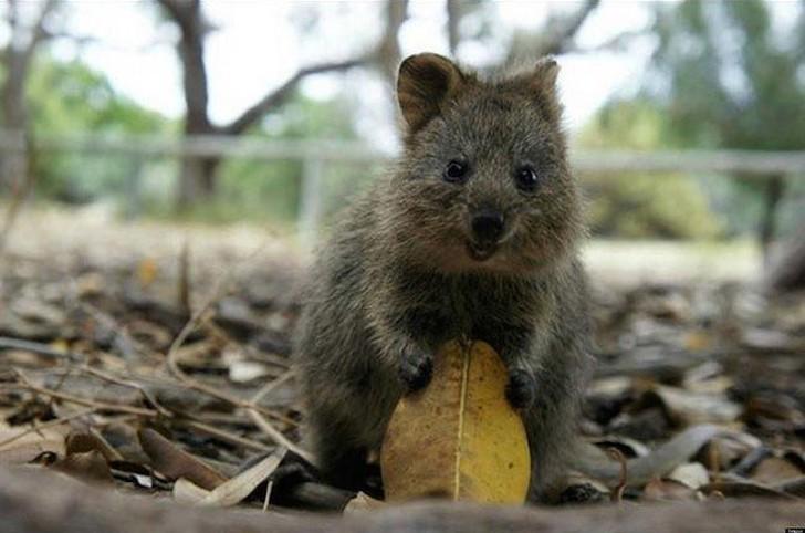 Квокки очень дружелюбные сумчатые, которые обитают в небольшом уголке юго-западной Австралии. Их