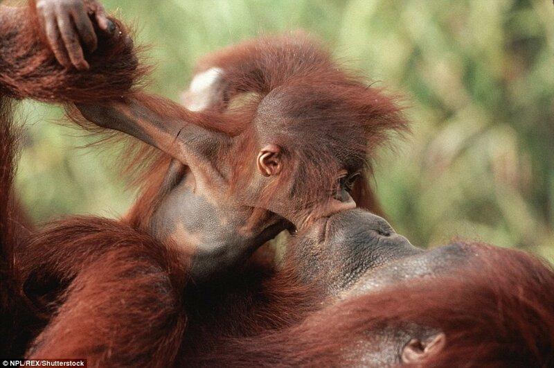Детёныш орангутана целует свою мать на острове Борнео.
