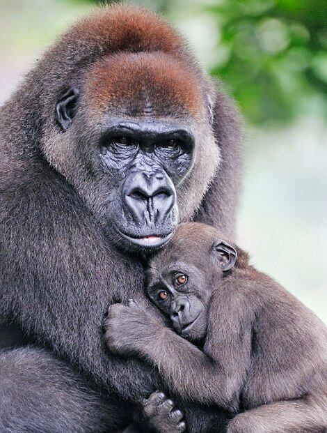 Горилла обнимает своего детёныша в заповеднике в Камеруне.