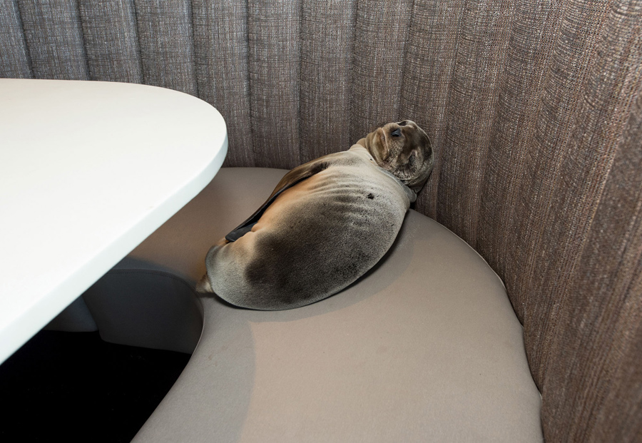 An eight-month-old female California sea lion pup, found sleeping in a booth in the dining room of t