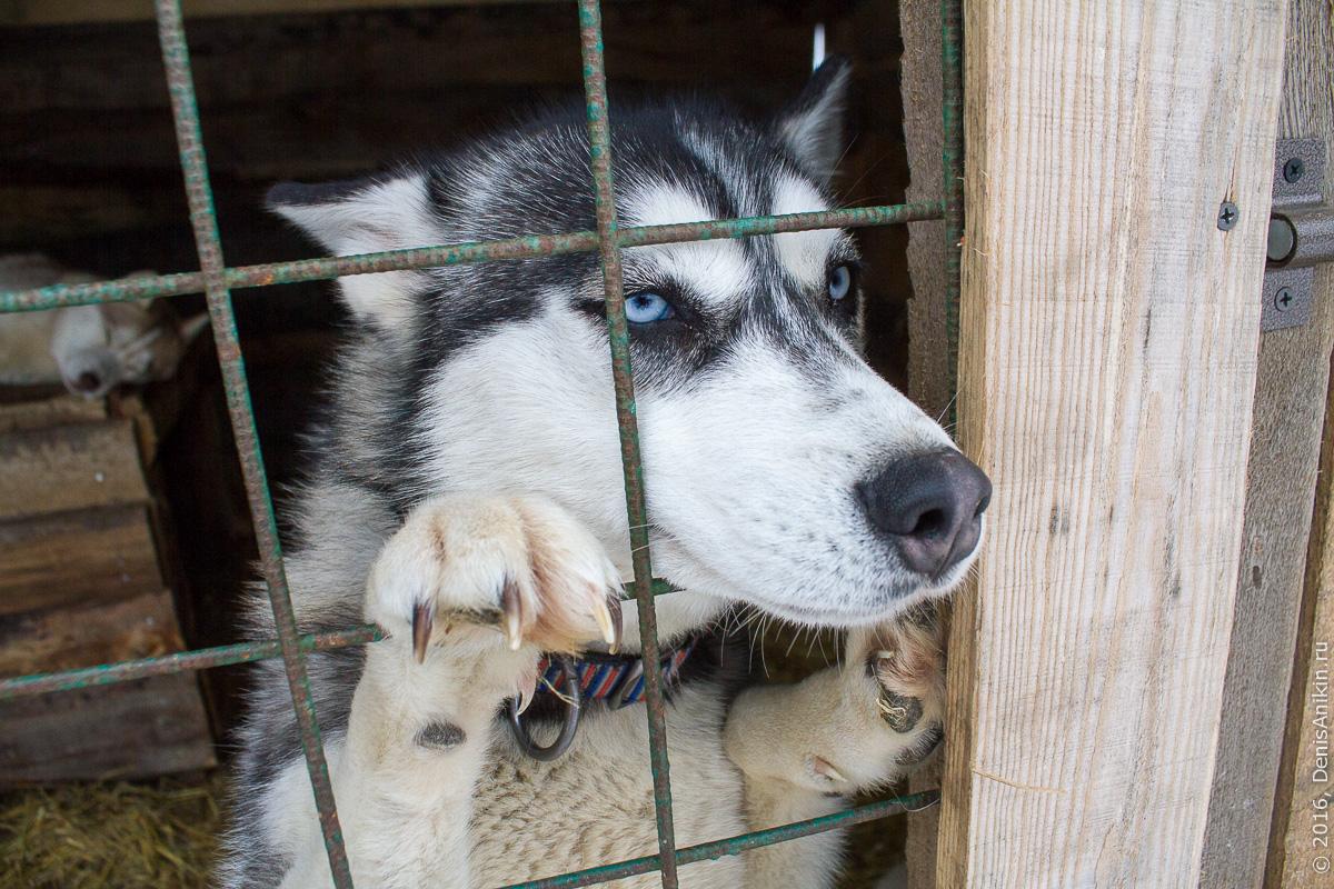 Питомник сибирских хаски DogWinter 13
