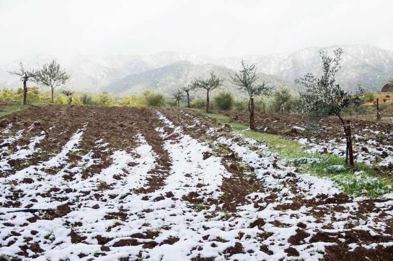 плантация молодых олив в снегу