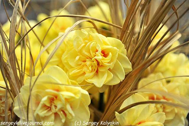 Narcissus Angelica (1).JPG