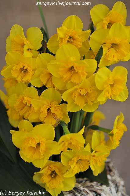 Narcissus Curly Lace.JPG