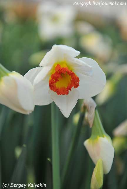 Narcissus Ring of Fire.JPG