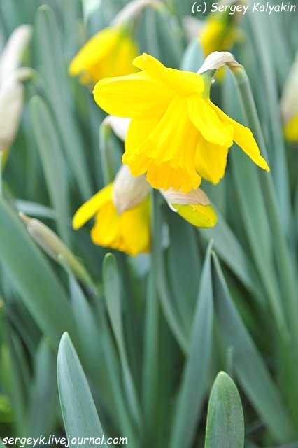 Narcissus Sint Victor (2).JPG