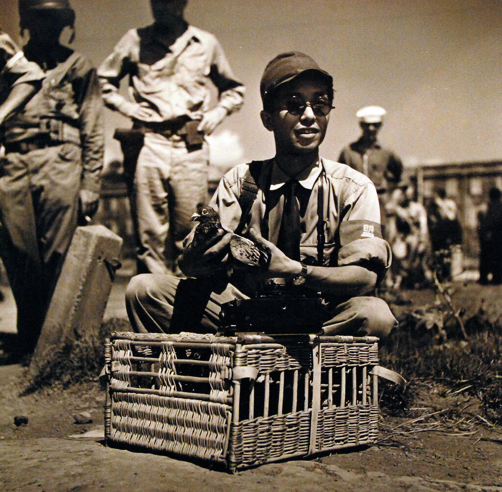 Photographer T. Iwamoto of Domet Agency attaches film of Surrender of Naval Base at Yokosuka to pigeon for flight to Tokyo to be released by Japanese Newspaper. Aug 1945.
