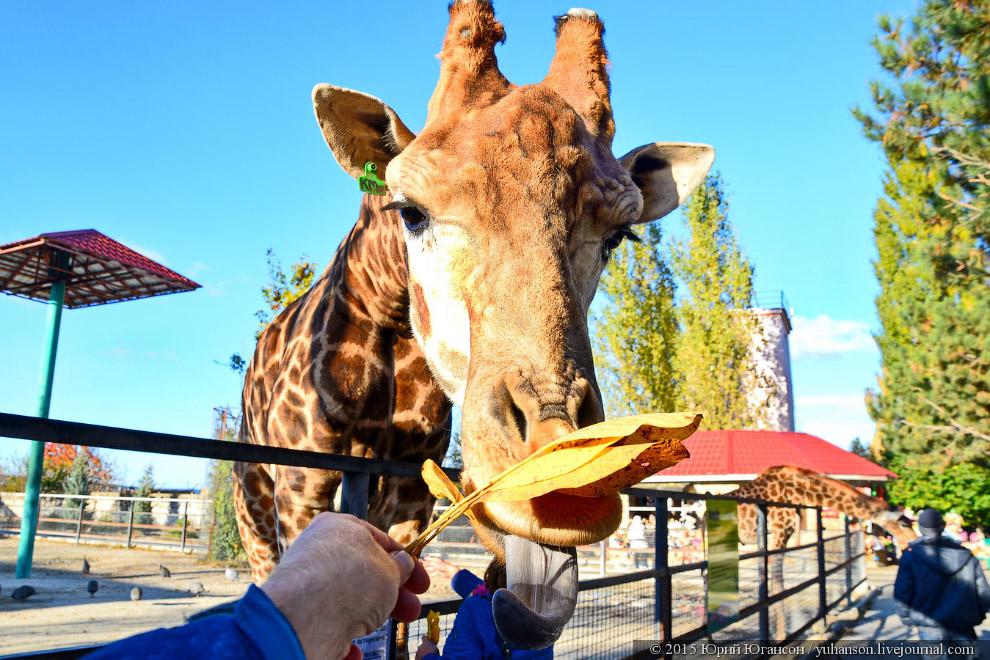 3. И не я один щедро делился с жирафами листопадом!