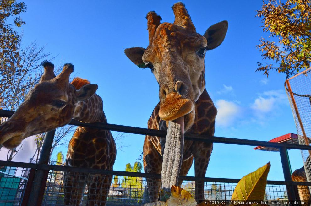 9. Вот и всё. Пять минут общения с жирафами, запоминающиеся на всю жизнь.