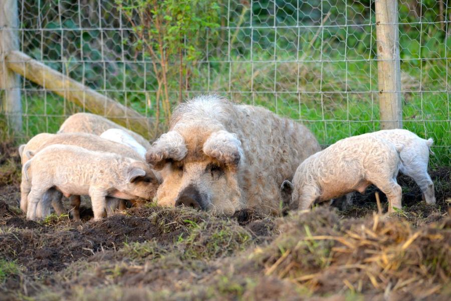 Мохнатая свинка появилась ажв19веке! Ипочему она нестала такимже привычным домашним животным,