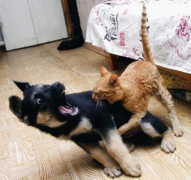 Похоже, кот научился понимать команду «фас» быстрее своего товарища.