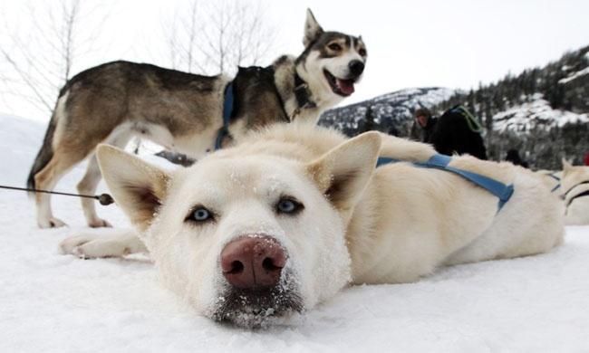 Любители собак наверняка оценят отдых вокружении этих прекрасных животных. Упряжка ездовых собак—