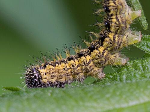 Гусеница Крапивницы (Аglais urticae) Автор фото: Владимир Брюхов