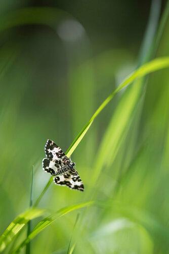 Пяденица березолистная (Rheumaptera hastata) Автор: Владимир Брюхов