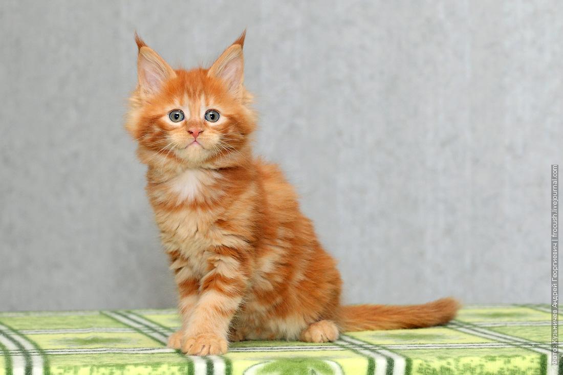 в Москве питомник котенок мейн кун