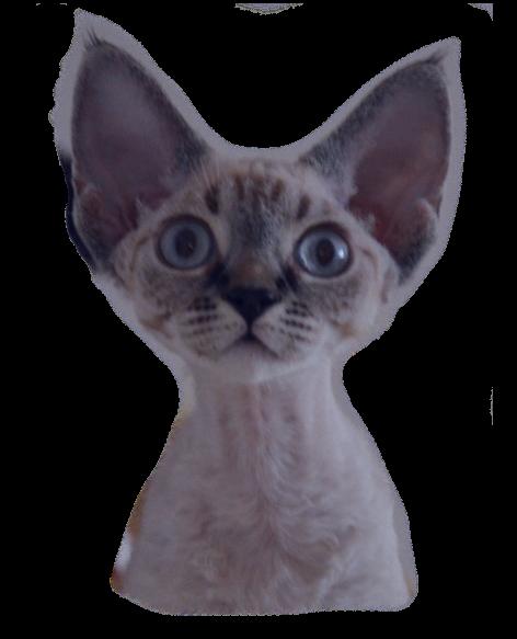 Котенок девон-рекс с голубыми глазами